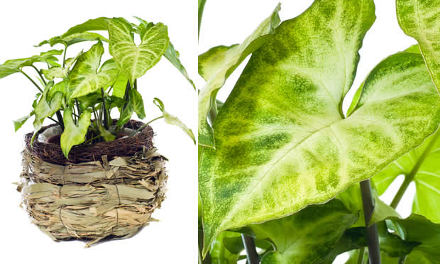 Conheça 7 plantas para ambientes fechados (6)