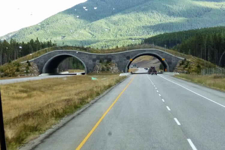 Já viu ponte salvar animais?